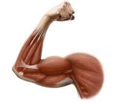 arm muscles - Szukaj w Google