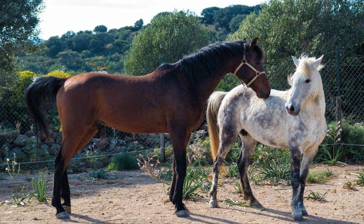 Cavalli di razza araba nati e cresciuti in Sardegna #arabianhorse #sardinia #thelivingfarm