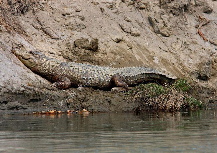 Mugger Crocodile (Crocodylus palustris) - || (c) Greg and Yvonne Dean ...