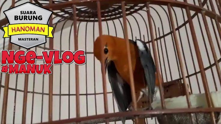 Anis Merah Teler 32 Menit Keluarkan Semua Isian Burung Tahu