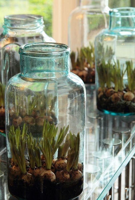 Bloembollen in glazen potten, mooi voor binnen en buiten. Idee voor de weckpotten, evt decoreren met lint / jute oid