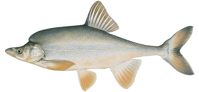 Even though the species is listed as endangered, populations of humpback chub are found in eight reaches of the Colorado River basin in western Colorado, Utah, and Grand Canyon. Description from nps.gov. I searched for this on bing.com/images