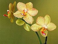 pestovanie orchideí - Phalaenopsis