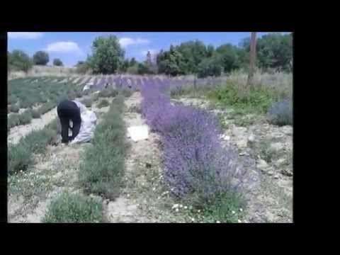 Βίντεο για τις ιδιότητες και χρήσεις του αιθέριου ελαίου λεβάντας | Lavender Oil in Greece