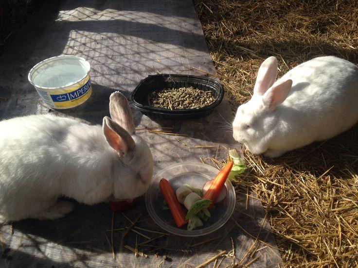 Lunch time Stewie & Bobbie  NZ white rabbits
