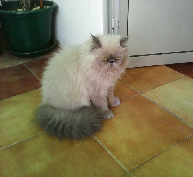 Jovem gato persa