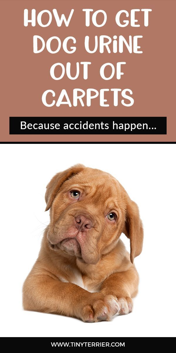 How To Get Dog Urine Stains Out Of The Carpet