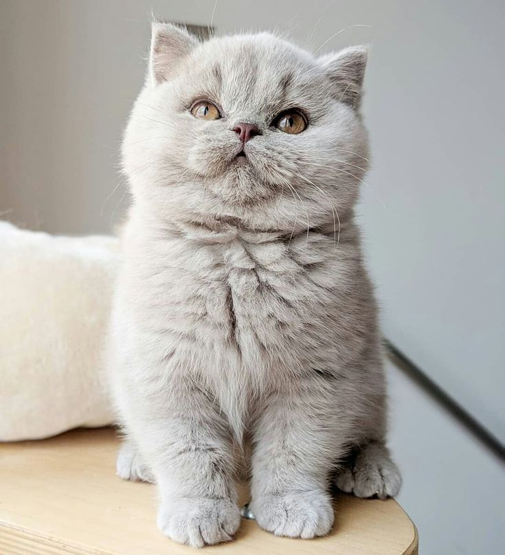 British Shorthair Kitten Scottish Shorthair Kitten Cute Light