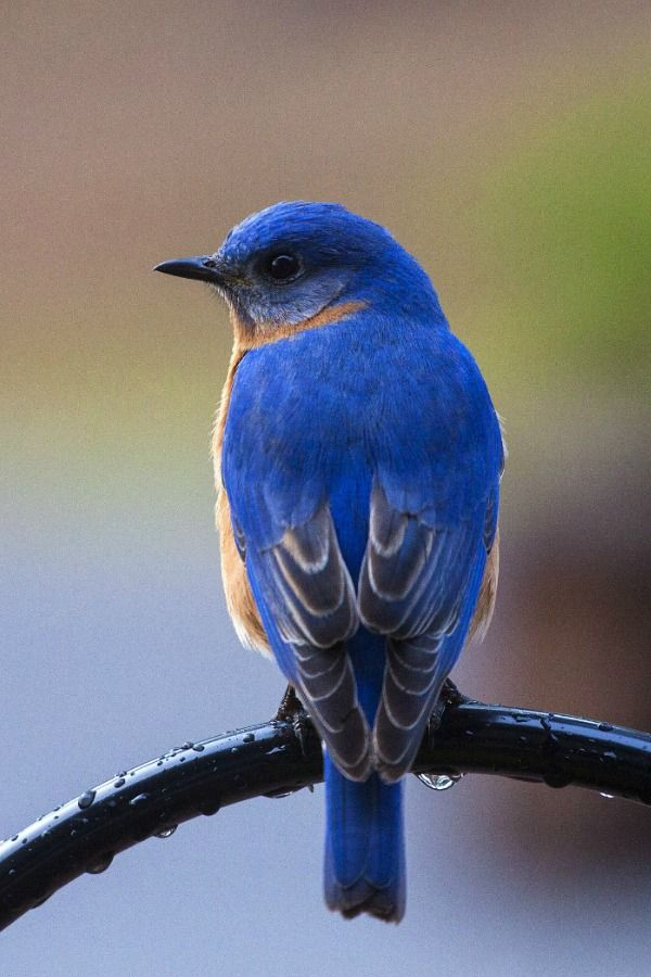 Attract Bluebirds to your yard....http://abirdsdelight.com/attract-bluebirds-to-your-yard   #bluebirds  #birds  #abirdsdelight