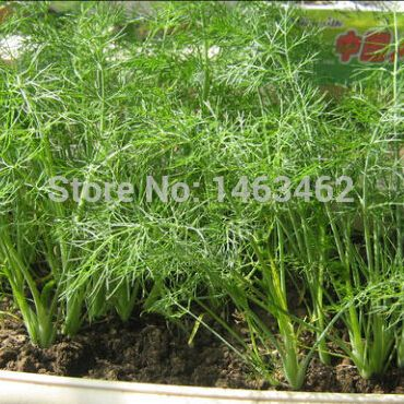 Fennel seeds, Aromatic plant fennel seed, genuine seed vegetable - 150 particles