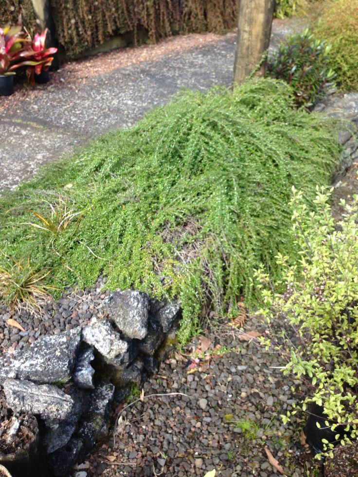 Coprosma taiko - one plant at c. 2 yrs old. Photo taken at Gordons Native Plant Nurseries.
