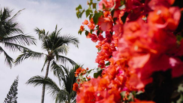 Bugambilias palmeras & pino.    14 de enero 2017.  Bucerías Nayarit