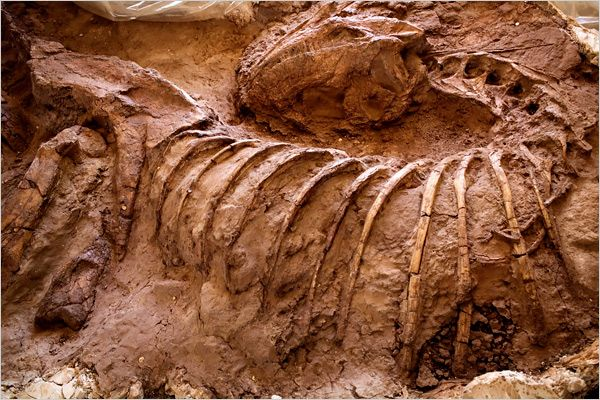 Patagonia, Argentina, owes its fossil wealth to tectonics and erosion. During the dinosaur era, sediment washed down from the mountains and buried many dead dinosaurs, which turned into fossils. Subsequent uplift and erosion of the terrain has brought the fossils back near the surface for paleontologists to find. This fossil belongs to the meat-eating family Abelisauridae, but the specific species has not been identified. Photo: Joao Pina for The New York Times.