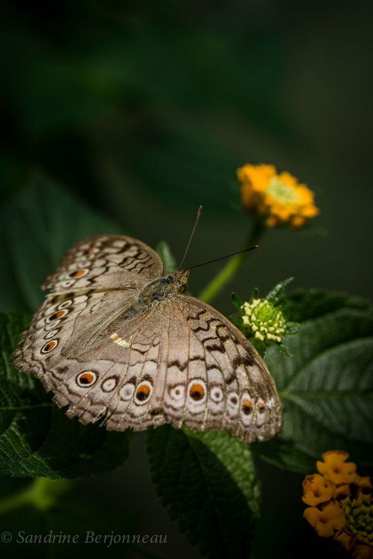 49 best butterflies images on pinterest butterflies beautiful