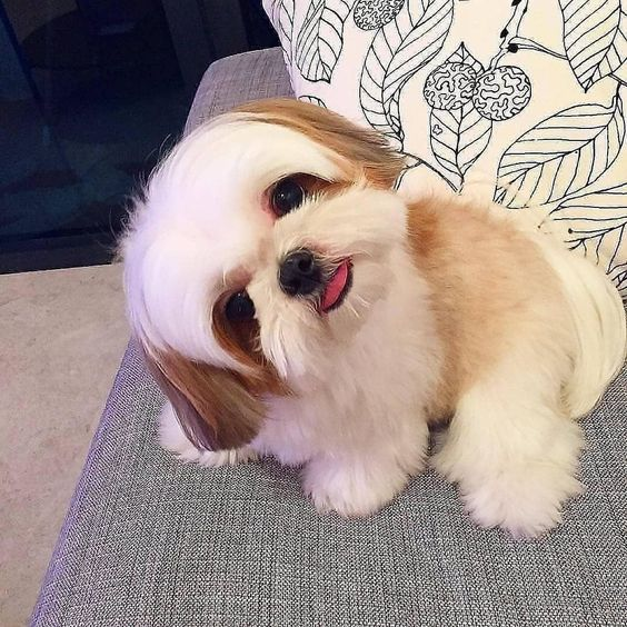 Dogs For Sale We Need To Talk In 2020 Cute Small Dogs Dog Breeds Little Cute Animals