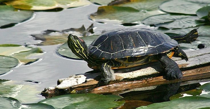 Tortugas acuáticas, sus cuidados - http://www.depeces.com/tortugas-acuaticas-sus-cuidados.html
