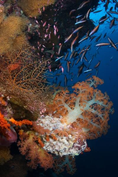 Soft Coral & Fish
