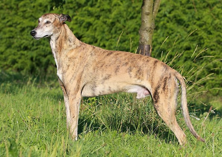 Greyhound Dog Breed Price