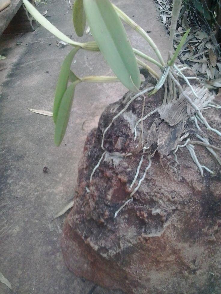 Flora do Noroeste Paranaense: Orquídeas do Norte - Noroeste do Paraná