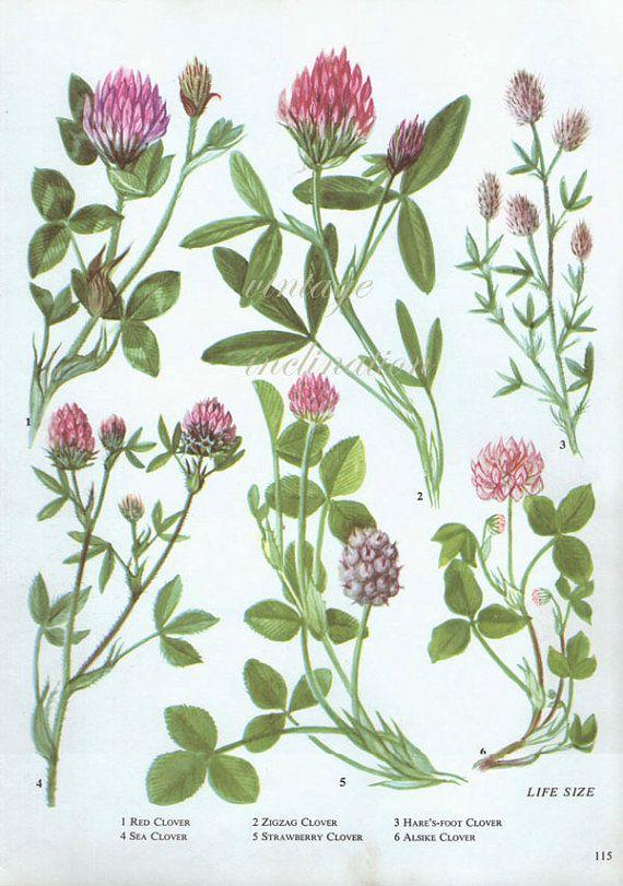 CLOVER roze Vintage botanische afdrukken antiek, plant afdrukken 115 botanische print bladwijzer art print, kruid planten planten muur afdrukken