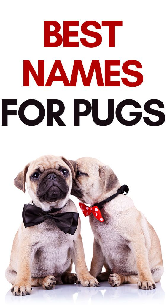 The Best Pug Names To Help You Get Ideas For Your New Pet In 2020 Pug Names Girl Pug Names Pugs