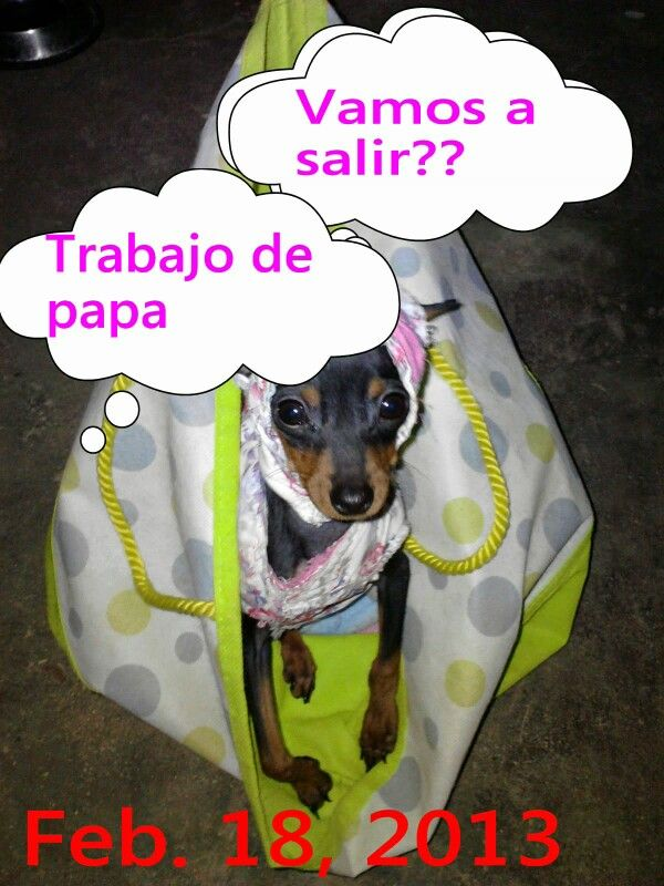 My pets pic, Chabelita ready to go to Dads job a small trip .
