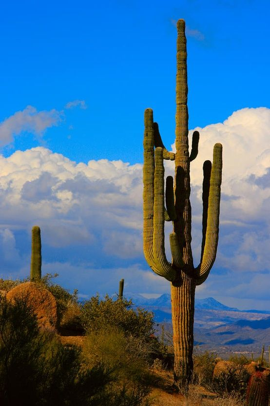 ✮ Giant Saguaro in the Southwest Desert - AZ