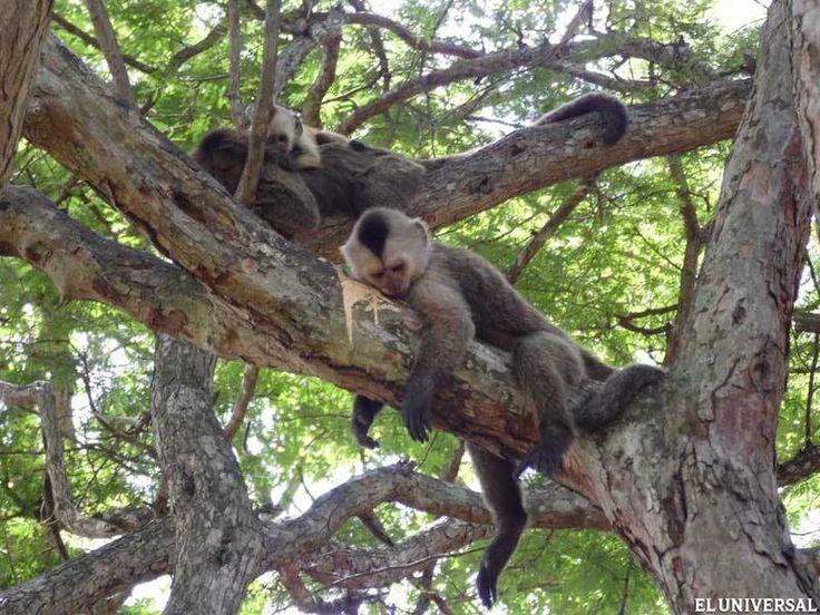 Los monos capuchinos andan libremente en Parque Cachamay (Elizabeth Kline), y se roban tu merienda si no estás pendiente