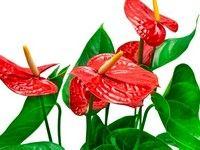 Anturium pochodzi z Ameryki Środkowej i Południowej. Uprawia się tam kilka gatunków ze względu na ozdobne liście, albowiem ich kwiaty nie mają wartości zdobniczej. Dwa gatunkiAnthurium scherzerianum iAnthurium andreanum są uprawiane zn...