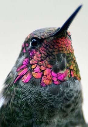 earthlynation: Male Anna's Hummingbird. Photo by Thy Bun