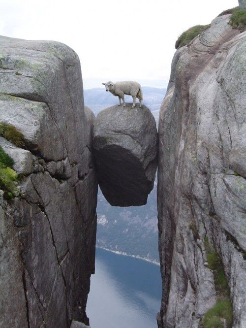 This sheep is about to base jump from Kjeragbolten