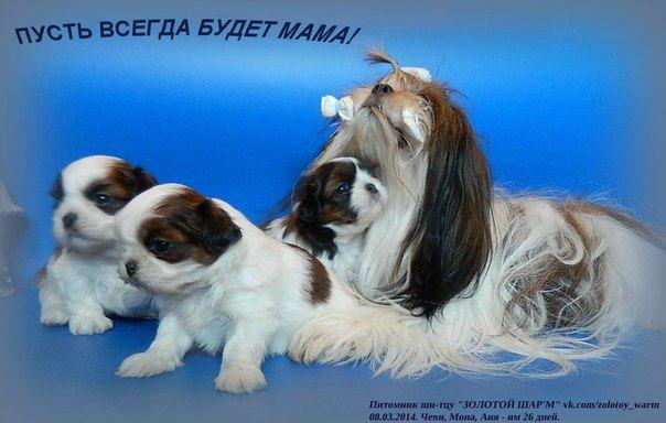 """Питомник ши-тцу """"ЗОЛОТОЙ ШАР'М"""" (г. Омск)"""