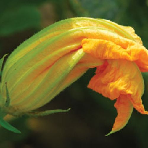 Fried Squash Blossoms Stuffed with Crawfish