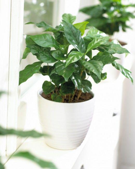 Кофе: от саженца до чашки.  Хорошее состояние кофейного дерева при выращивании в домашних условиях во многом зависит от светового режима. Подмечено, что культура кофе лучше развивается при размещении на южных, юго-восточных, юго-западных окнах. Северная сторона непригодна для содержания тропического гостя.  Сильное солнечное освещение частично задерживает рост молодых саженцев. Поэтому экземпляры в возрасте до 2 лет содержат на рассеянном свету. Как только начинают появляться зачатки…