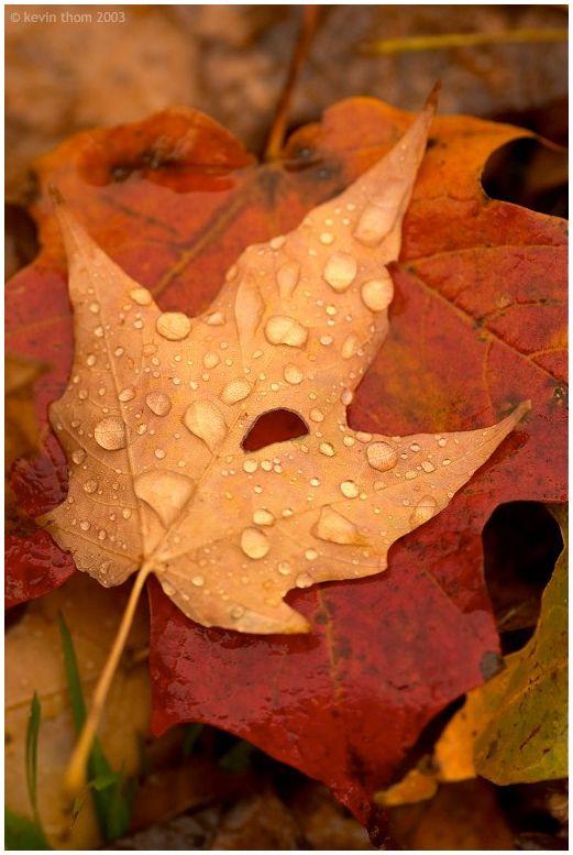 Raindrops on crisp fall leaves: #fall #leaves #nature