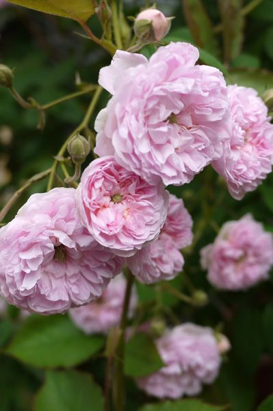 ~Noisette Rambling Rose: Rosa 'Laure Davoust' (France, 1834
