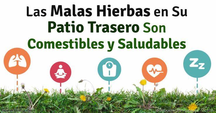 omega 3, plantas, verdolaga, hierbas comestibles http://espanol.mercola.com/boletin-de-salud/5-hierbas-malas-saludables-que-puede-comer.aspx