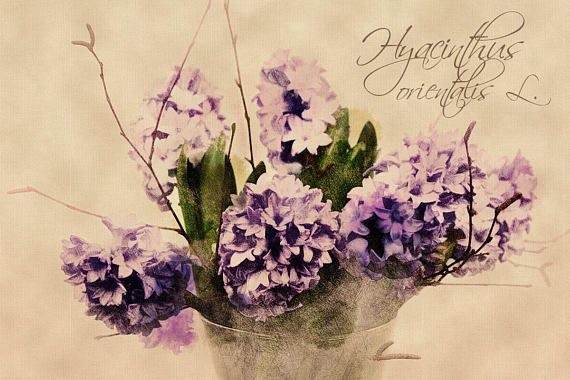Hyacinthus orientalis  Digital Download Art botanical print