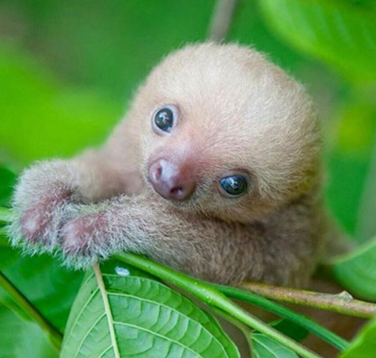 baby sloth. aww ⇨ Follow City Girl at link https://www.pinterest.com/citygirlpideas/ for great pins and recipes! ☕