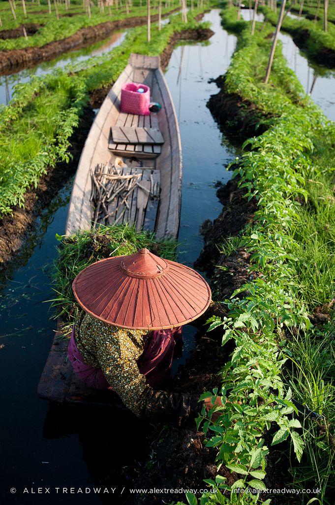 Working in the floating gardens on Inle Lake, Shan State, Myanmar. Inle Lake is a freshwater lake in Nyaungshwe Township.