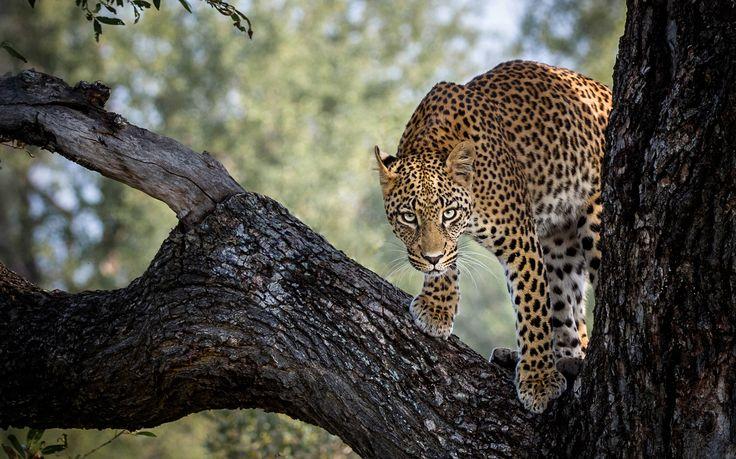 Leopard - I named this image (Kruger Leopard) - copyrighted - bruna@thrumyafrican lens.co.za