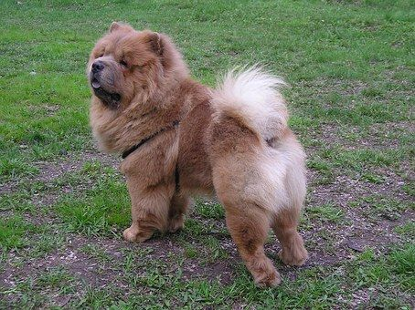 The Chow enjoys being outdoors in cool weather, but it should be kept as an indoor pet in dry or hot regions.