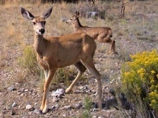 Desert mule deer doe and fawn - Odocoileus hemionus | Fawn ...