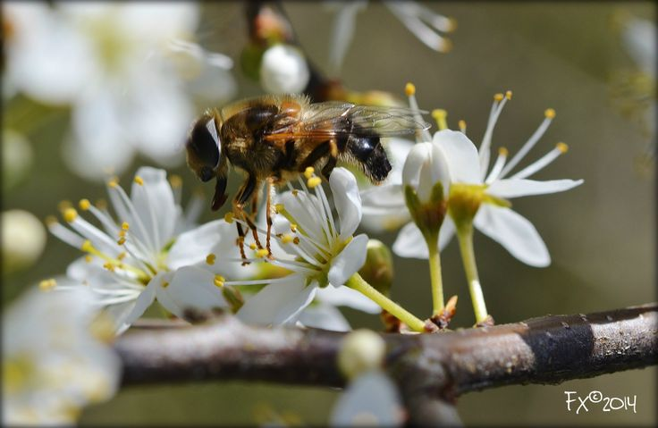 honey bee...'I want to pollinate all the flowers'
