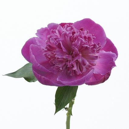 シャクヤク「サツキ」 - Flower File 大田市場の花き仲卸 株式会社フローラルジャパン