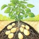 Aardappelen lang bewaren