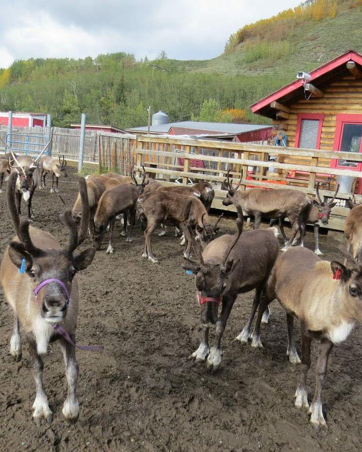 Reindeer Farm | Palmer, Alaska