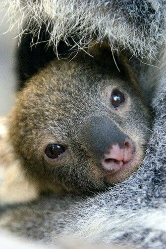 A baby koala looks out to the world - he wants to explore!