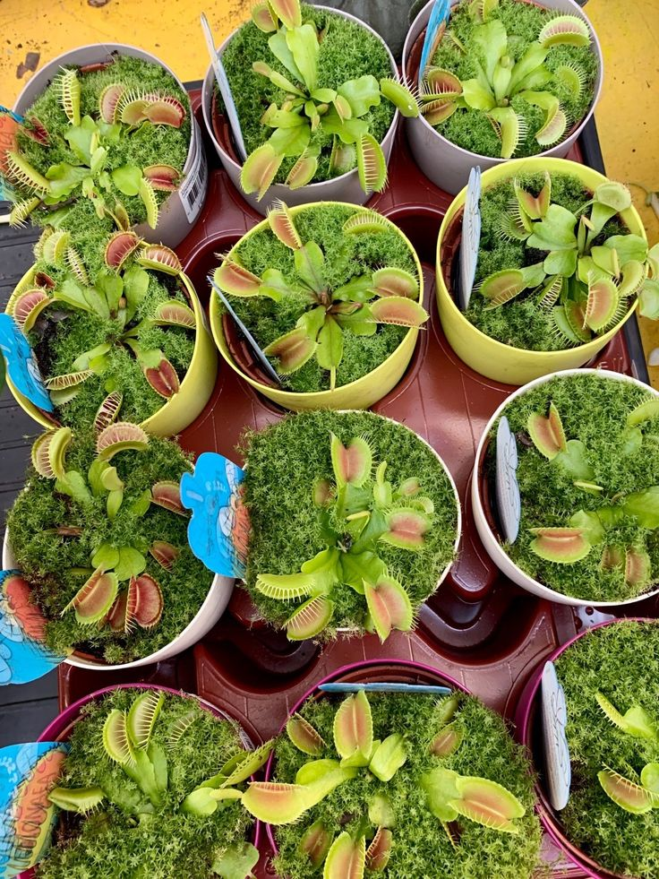 Dionaea muscipula better known as the venus fly trap is