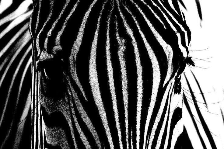 Zebra Close up POSTER 61 x 91.5 cm